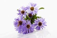 Purple autumn asters Stock Photo