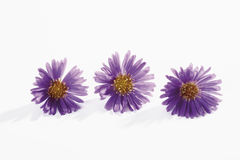 Purple autumn asters in a row Stock Photography
