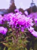 Purple autumn flower. Beautiful purple flower growing in autumn garden stock image