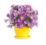 Purple autumn flowers in flowerpot Royalty Free Stock Photo