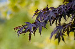Purple Autumn Leaves. Purple Autumn (Fall) leaves against the backdrop of yellow foliage stock image