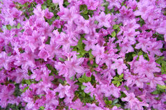 Purple Azalea. In Bloom Royalty Free Stock Photo