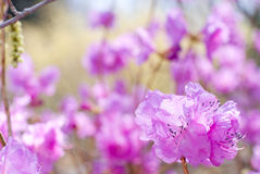 Purple azalea Royalty Free Stock Images