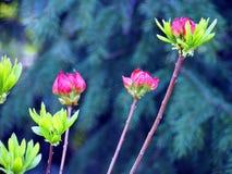 Purple Azalea buds Royalty Free Stock Photography