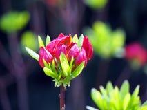 Purple Azalea buds Royalty Free Stock Photos