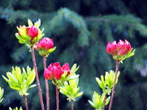 Purple Azalea buds Royalty Free Stock Images