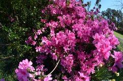 Purple azalea bush Royalty Free Stock Images