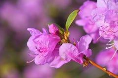 Purple azalea flower close up Stock Photo