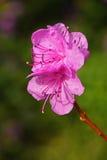 Purple azalea flower close up Royalty Free Stock Image