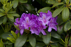 Purple azalea Royalty Free Stock Photo