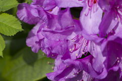 Purple azalea Stock Image