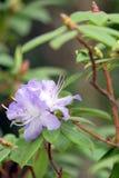 Purple azalea on green Royalty Free Stock Image