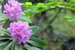 Purple azalea on green Stock Photos