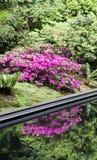 Purple Azalea and Reflection Stock Images