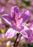 Purple Azalea. Rhododendron x subgenus Azalea Stock Images