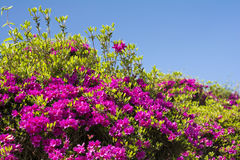 Purple azalea under sky Royalty Free Stock Photo
