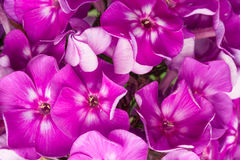 Purple background of blooming phloxs flowers Stock Photo