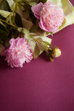 Purple background with peony flowers Royalty Free Stock Photography