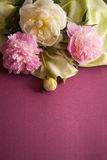 Purple background with peony flowers Stock Images