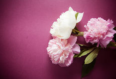 Purple background with peony flowers Stock Photography