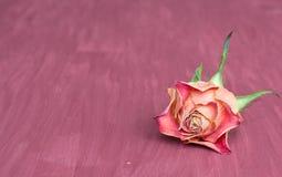 Single rose background Royalty Free Stock Photo