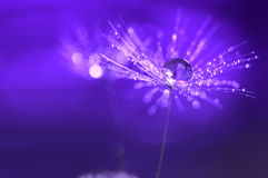 Purple background with water drops on a dandelion. An artistic image . Abstract macro Royalty Free Stock Photos
