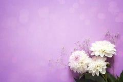 Purple background with white dahlias flowers. Copy space. Stock Photo