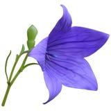 Purple balloon flower Royalty Free Stock Photo