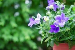 purple balloon flower or Platycodon grandiflorus flower  in brow Royalty Free Stock Image