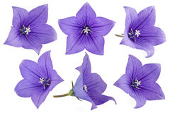Purple Balloon flowers. (Platycodon grandiflorus) isolated on a white background Stock Images