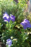 Purple balloon flowers blossoms, variegated ground cover in sunny garden bed. Purple balloon flowers blossoms and buds, variegated ground cover and various plant Stock Images