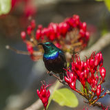 Purple-banded sunbird in Kruger National park, South Africa Stock Photography