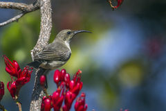 Purple-banded sunbird in Kruger National park, South Africa Royalty Free Stock Images