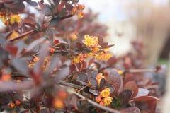 Yellow flowers of purple barberry. Spring blossom. Closeup of branch with flowers. Purple Barberry, Berberis thunbergii atropurpurea has beautiful dark purple stock images