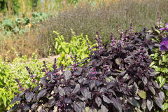 Purple Basil Royalty Free Stock Photos