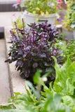 Purple basil. Blooming purple basil in the garden Stock Photo