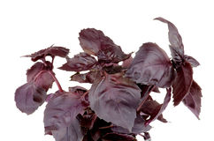 Purple Basil Stock Images