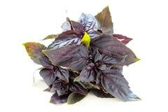 Purple basil. Stock Image