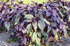 Purple basil Royalty Free Stock Image
