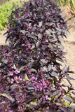 Purple Basil Royalty Free Stock Image