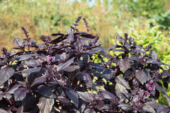 Purple Basil Stock Photos
