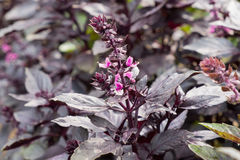 Purple Basil Royalty Free Stock Images