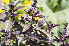 Purple basil Stock Photography