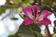 Purple Bauhinia × blakeana or Hong Kong orchid flower blossom on the tree. royalty free stock photography