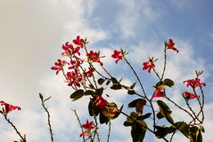 Purple Bauhinia Stock Image