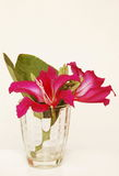 Purple Bauhinia Stock Images