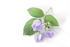 Purple bean flower with leaf on white background. Royalty Free Stock Image
