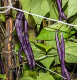 Purple beans, draconic tongues. Long pods purple beans, dragon tongue, among the leaves Royalty Free Stock Images
