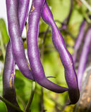 Purple beans, draconic tongues. Long pods purple beans, dragon tongue, among the leaves Royalty Free Stock Image