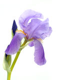 Purple bearded iris Royalty Free Stock Photos